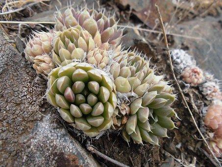 Succulents, Orpine, Mountains, Macro, Plant, Botanica