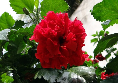 China Rose, Hibiscus Double, Rosa Sinensis, Shoe Flower