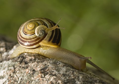 Snail, Snails, Tandem, Duo, Two, Piggyback, Last, Bear