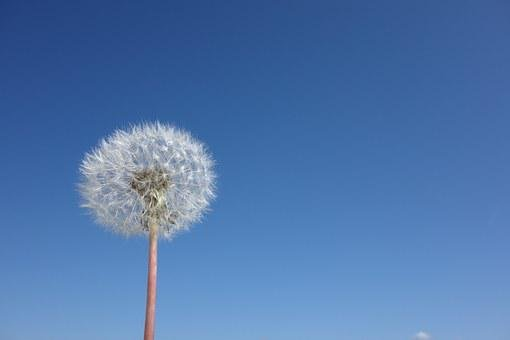 Dandelion, Flower, Spring, Nature, Plant, Sky, Meadow