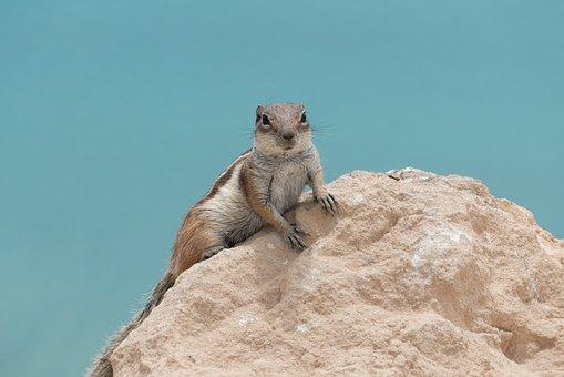 Animal, Atlas Croissant, Squirrel, Fuerteventura, Cute