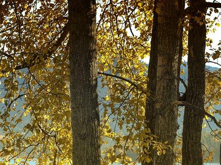 Cottonwood, Tree, Yellow, Foliage, Autumn, Fall, Nature