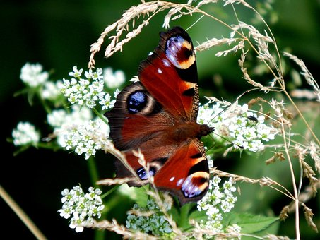 Butterfly, Butterfly Peacock, Babočkovití, Wings