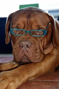 Dog, Pet, Fashion, Glasses, Cute, Canine, Domestic