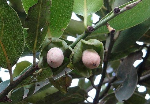 Diospyros Malabarica, Kendu, Baby Fruit, Gaub Tree