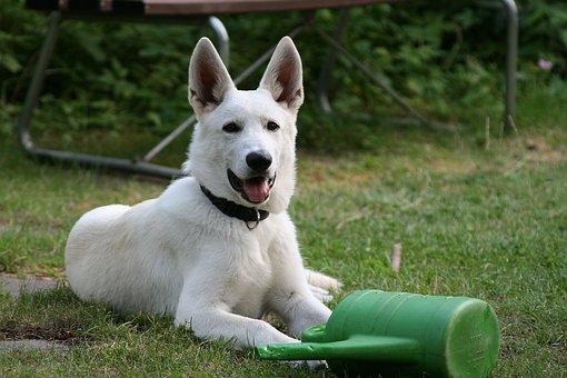 Dogs, Dog, White Shepherd, Animal Portrait, Schäfer Dog
