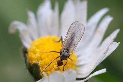 Fly, Empis Ciliata, Black Dance Fly, Insect, Wing