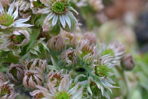 Ice Plant, Houseleek, English Aloe Vera