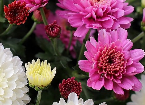 Asters, Flowers, Colorful, Inflorescences