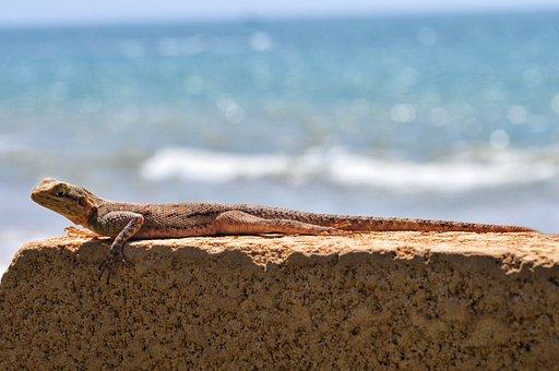 Lizard, Gekko, Reptile, Sun, Sea, Tanning, Senegal