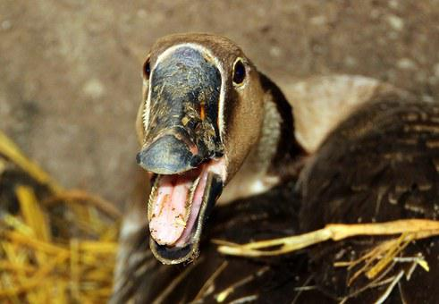 Goose, Höcker Goose, Poultry, Domestic Goose, Animal