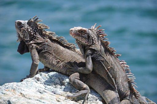 Iguana, Stone, Sea, Grey, Coast, Water, Lizards