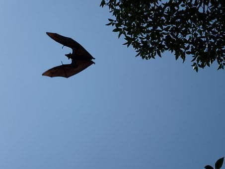 Flying Dog, Sri Lanka, Flying, Bat, Vampire, Halloween