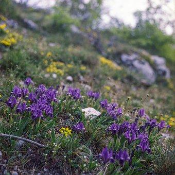 Purple, Iris, Nature, Hiking, Mountain, Flower, Plant