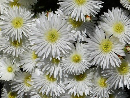 Ice Plant, Lampranthus, White, Blossom, Bloom, Pink