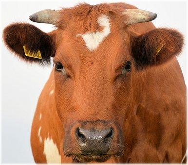 Bull, Calf, Farm, Animal, Cow, Agriculture, Livestock