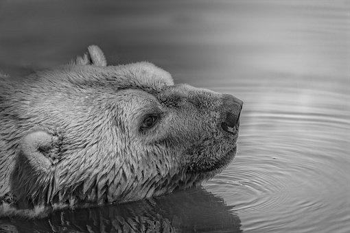 Animal, Cold, Fur, Lake, Mammal, Outdoors, Polar Bear