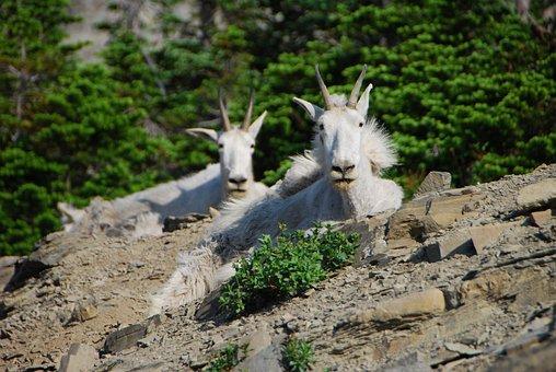 Mountain Goats, Montana, Glacier National Park, Hike
