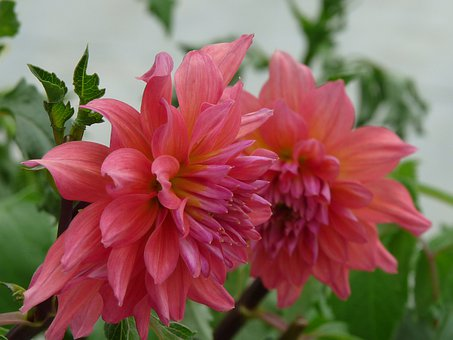 Twin Flowers, Red Daisy, Floral, Plants, Natural