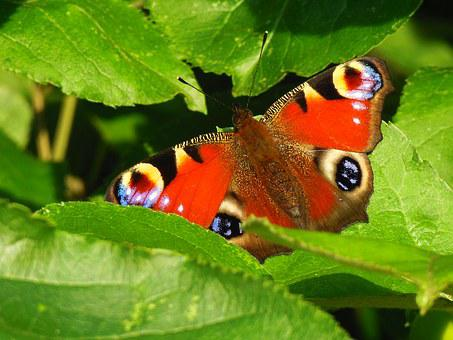 Butterfly, Peacock, Tagpfauenauge, Bug, Nature