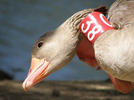 Goose, Bird, Beak, Brand, Ring, Ornithology, Head