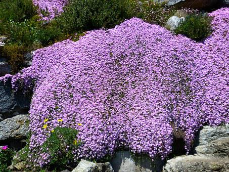 Ice Plant, Lampranthus, Pink, Blossom, Bloom, Flowers