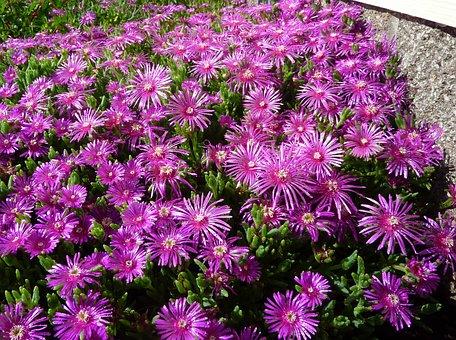 Succulent, Ice Plant, Purple, Flower, Flora, Bloom