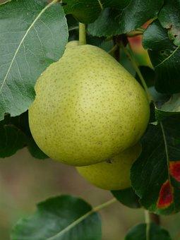 Most Pear, Swiss Wasserbirne, Pear, Ball Bulb