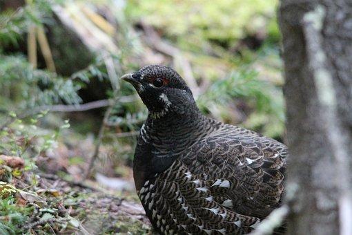 Willow Ptarmigan, Bird, Wildlife, Animal, Canada, Usa