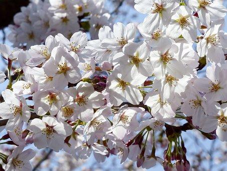 Sunbeam, Sakura, Tree, Spring, Nature, Cherry, Bloom