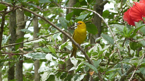 Bird, Canario Land, Yellow, Small, Trees, Park, Forest