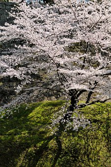 Cherry Blossoms, Spring In Japan, Cherry Tree