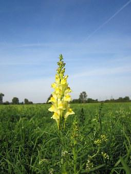 Linaria Vulgaris, Common Toadflax, Yellow Toadflax