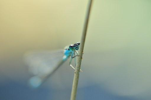 Dragonfly, Azure Bridesmaid, Insect, Nature, Pond