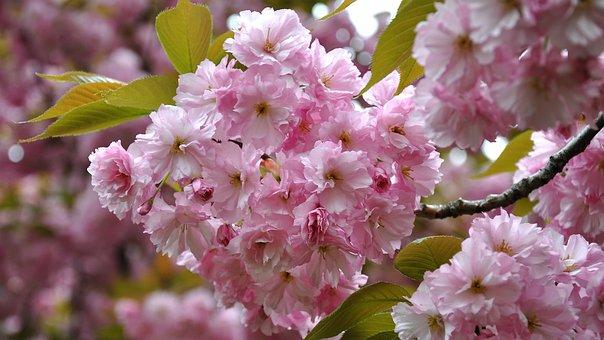 Japan Cherry, Spring, Flowering Tree