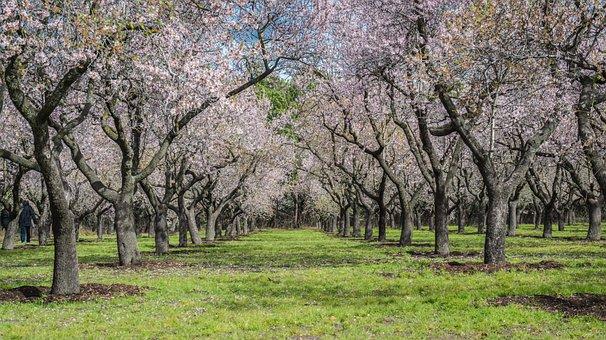 Almond Tree, Spring, Park, Flower, Bloom, Flowers