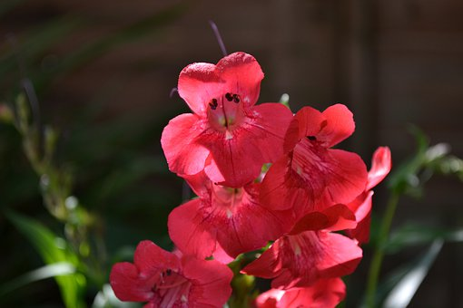 Penstemon, Red, Trumpet, Plant, Plantain Family, Garden