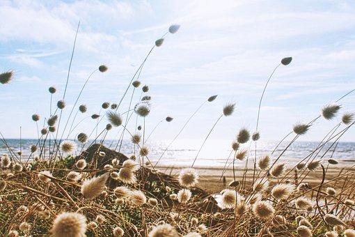 Bloom, Blossom, Dandelions, Field, Flora, Grass, Ocean