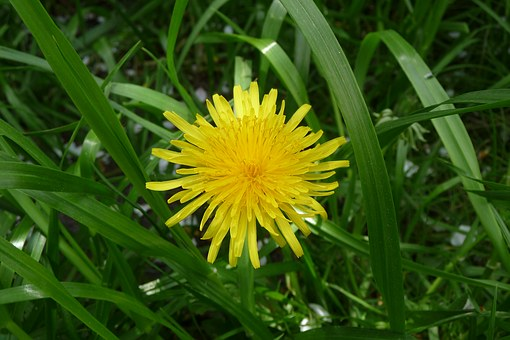 Dandelion, Mayflower, May, Yellow, Green, Close, Meadow