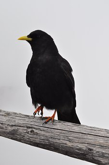 Bergdohle, Jackdaw, Raven, Bird, Alpine, Black, Wood