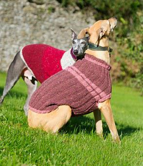 Whippet, Dog, Jacket, Blue, Jumper, Vest, Sitting