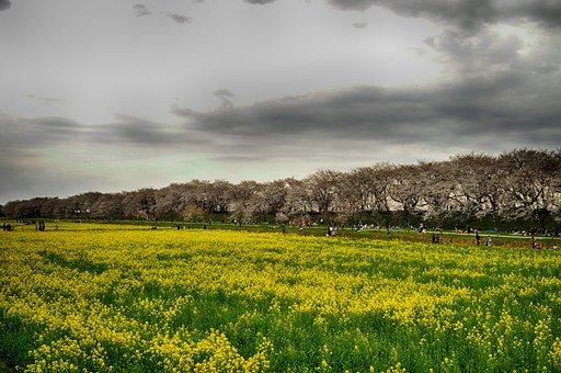 Gongendo Park, Japan, Cherry Trees, Flowers