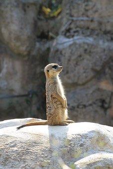 Zoo, Liberec, Meerkat