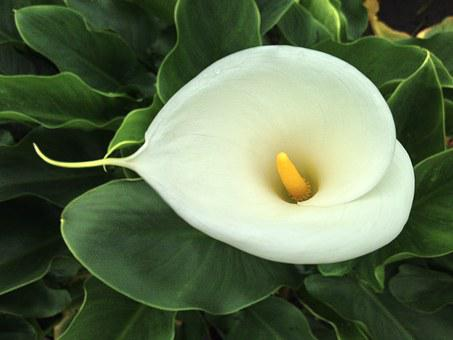 Calla, Taipei, Taiwan, Lily, Blossom, Flower, Natural