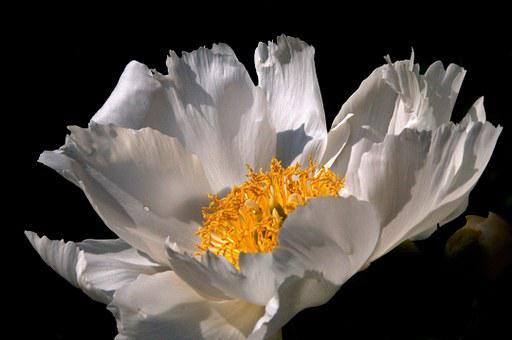 Anemone, Giverny, Flower, Nature, White