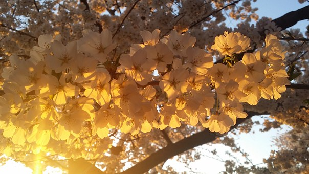 Cherry, Blossom, Spring, Nature, Pink, Tree, Branch