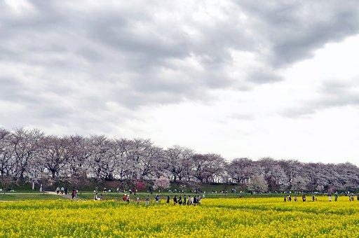 Gongendo Park, Japan, Cherry Trees, Flowers, People