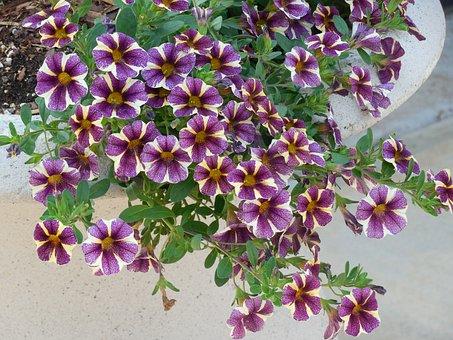 Petunias, Flower, Garden, Plant, Nature, Blossom