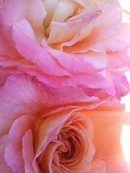 Rose, Pink, Wild Rose, Romantic, Bouquet, Fragrance