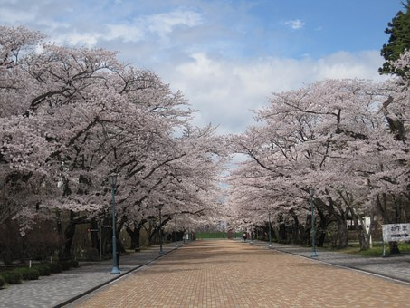 Cherry Blossoms, Wood, Pink, Cherry Tree, Japan